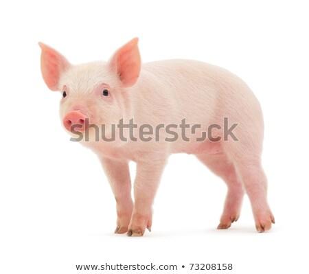 Wild pig on white background Stock photo © bluering