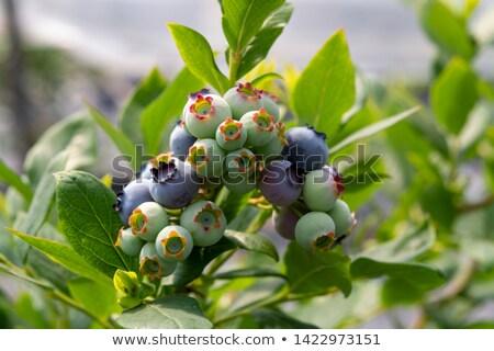 Blueberries ripening on the bush. Shrub of blueberries. Stock photo © Virgin