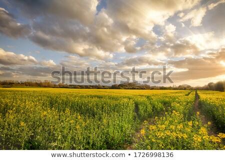 Sunset over Canola Farm agricultural fields Stock photo © lovleah