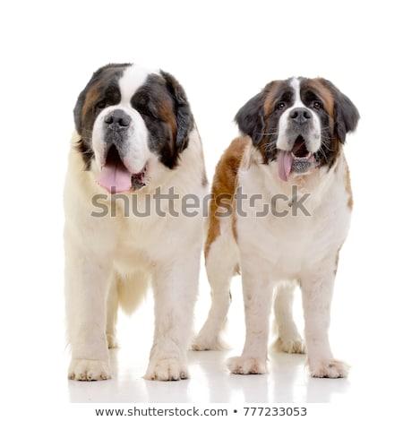 Due adorabile isolato bianco cane Foto d'archivio © vauvau
