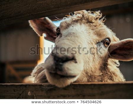 close up sheep stock photo © joyr