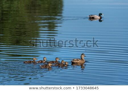 женщины · утки · отражение · плаванию · воды - Сток-фото © simplefoto