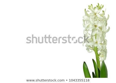 Hyacint geïsoleerd witte Blauw geschenk paars Stockfoto © Raduntsev