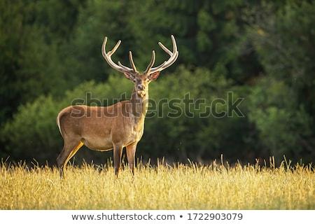 赤 · 鹿 · 森林 · オレンジ · 動物 · 紫色 - ストックフォト © arturasker