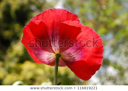 Red poppy with its petals blown open Stock photo © sarahdoow
