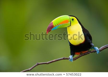 madár · színes · Brazília · fa · természet · zöld - stock fotó © lunamarina
