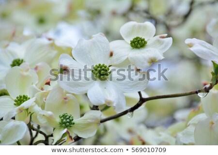 白 開花 フロリダ 咲く 自然 庭園 ストックフォト © shihina