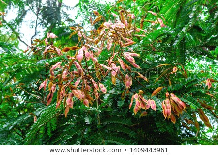 Peltophorum Pterocarpum Yellow Flame Tree Seeds Stock photo © ziprashantzi