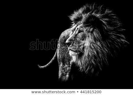 beyaz · aslan · yakın · yüz · doğa - stok fotoğraf © art9858