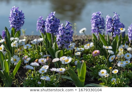 azul · jacinto · flores · crescente · abrir - foto stock © neirfy