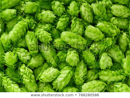 Fresh green hop cones stock photo © joannawnuk