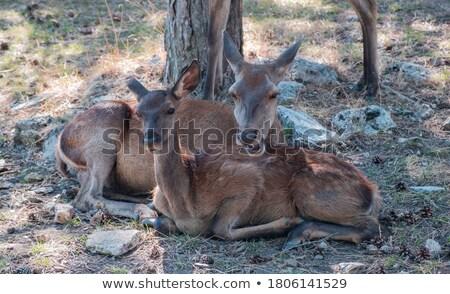 fallow deer family - doe mothers and fawn babies Stock photo © martin_kubik