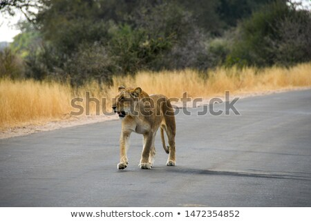 two lions walking in the kruger stock photo © simoneeman