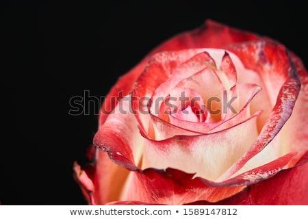 Rosas rosas vermelhas branco cartão aniversário tecido Foto stock © SRNR