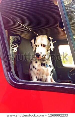 Cão dálmata mascote fogo lutador ilustração Foto stock © lenm