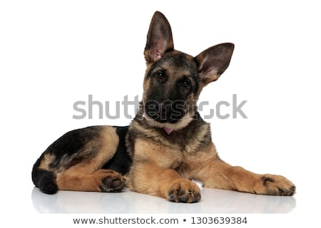 adorable german shepard wearing pink bowtie resting Stock photo © feedough