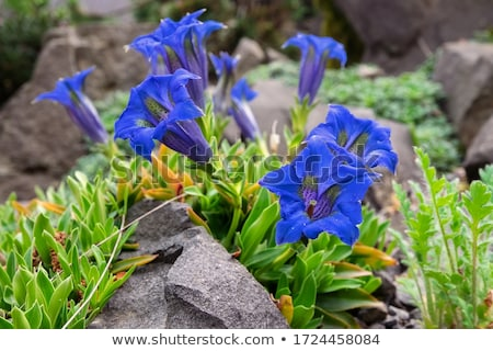 Gentiana Stock photo © artush