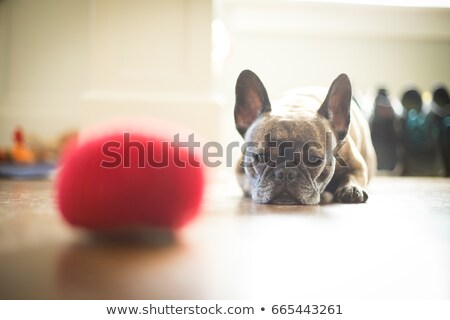 puppy chewing on a fur ball stock photo © feedough