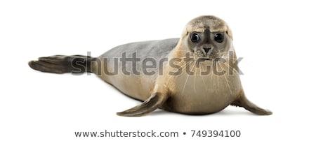 シール スイミング 水 頭 ストックフォト © Arrxxx