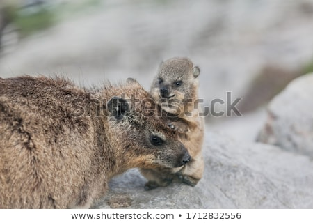 Cute Rock Hyrax Mother and Baby Stock photo © fouroaks