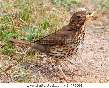 A Song Thrush collecting bread for its offspring. Stock photo © latent
