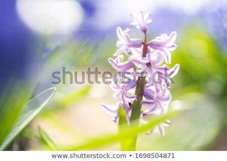 Vadvirág rózsaszín mély virág növény Görögország Stock fotó © suerob