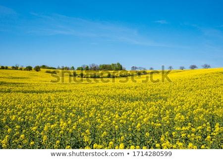 rapeseed field and sky stock photo © kotenko
