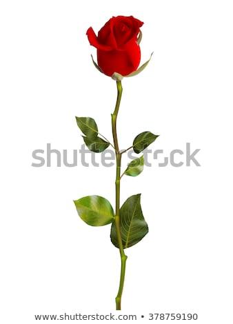 parlak · kırmızı · gül · çiçek · bahar · yalıtılmış · beyaz - stok fotoğraf © beholdereye