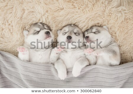 little puppy sleeping stock photo © simply