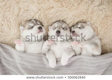 Stock photo: Little puppy sleeping