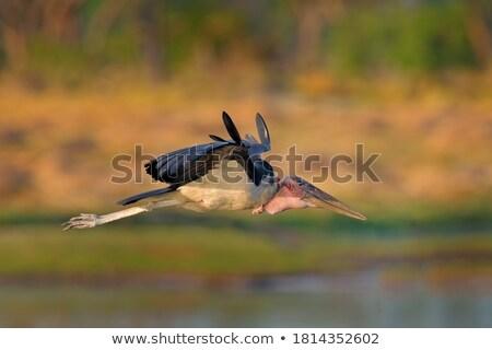 vogel · buit · groot · zwarte · adelaar - stockfoto © klinker