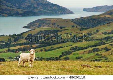 白 · 子羊 · 徒歩 · 春 · 緑 · 草原 - ストックフォト © joyr