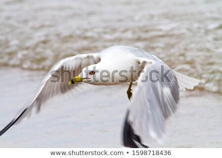 鴎 飛行 湖 オンタリオ 光 ストックフォト © brianguest