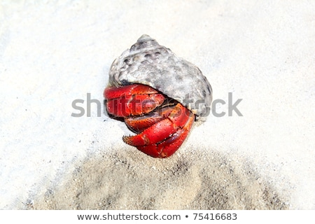 Red Legged Hermit Crab in Mexico beach sand Stock photo © lunamarina