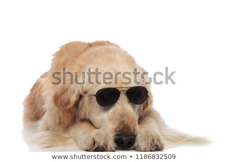 cool labrador wearing sunglasses lying with head between its paw Stock photo © feedough