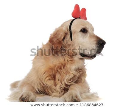 cute golden retriever with red ribbon headband looks to side Stock photo © feedough