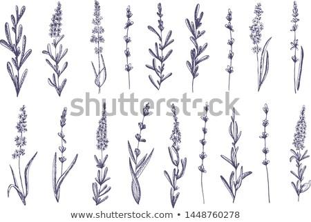 belo · roxo · lavanda · arbusto · coberto · denso - foto stock © neirfy