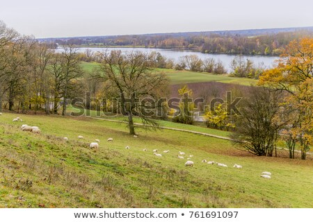 sheep near danube river stock photo © prill