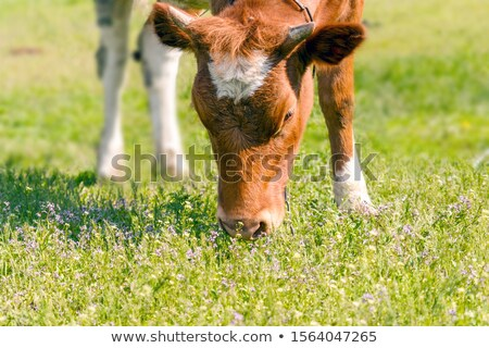 young red cow eats a grass Stock photo © vavlt