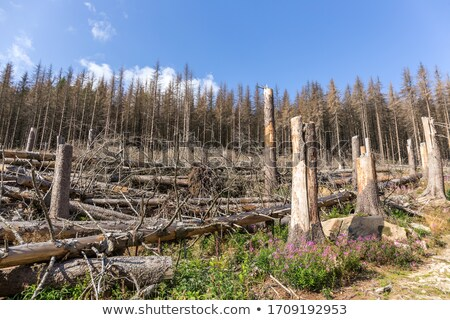 Forest destroyed by bark beetle Stock photo © ondrej83