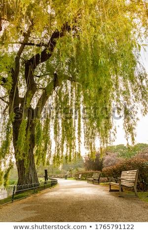ősz fűzfa ág idő fa Stock fotó © rghenry