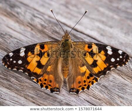 Painted Lady (Cynthia Cardui) Butterfly. Stock photo © tainasohlman