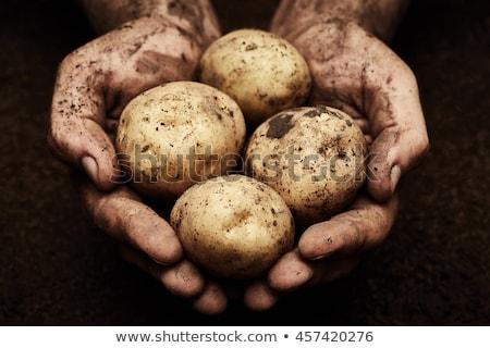 Batatas mão um batata acima terra Foto stock © mycola
