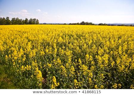 beautiful large rapeseed fields in nice landscape Stock photo © meinzahn