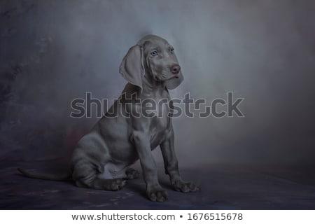 sweet weimaraner portrait in a photo studio stock photo © vauvau