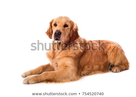 Stock photo: Golden retriever portrait in a dark photo studio