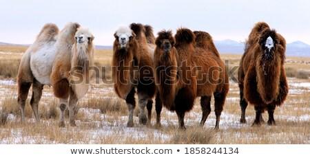 Kettő tevék áll sivatag mező illusztráció Stock fotó © bluering