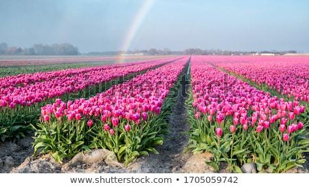 tulipánok · Amszterdam · színes · csatorna · Hollandia · tavasz - stock fotó © compuinfoto