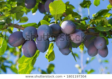 plum tree with fruits in fall Stock photo © LianeM