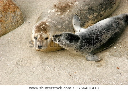baby and mama seals stock photo © hlehnerer
